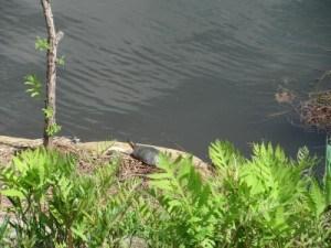 Curlex_Bloc_Turtle_large